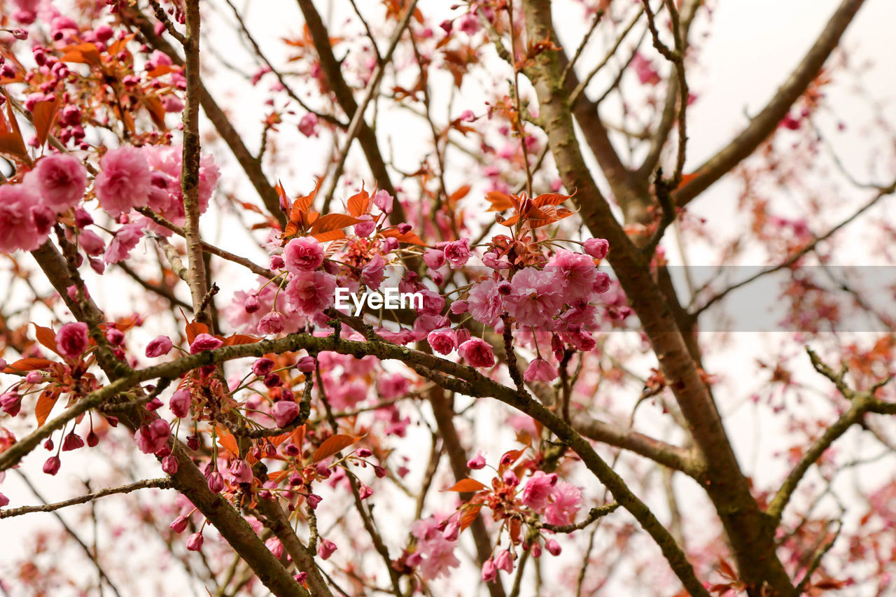 flower, fragility, beauty in nature, pink color, branch, blossom, growth, cherry blossom, tree, springtime, nature, freshness, cherry tree, petal, botany, twig, day, low angle view, no people, apple blossom, outdoors, plum blossom, close-up, focus on foreground, blooming, flower head