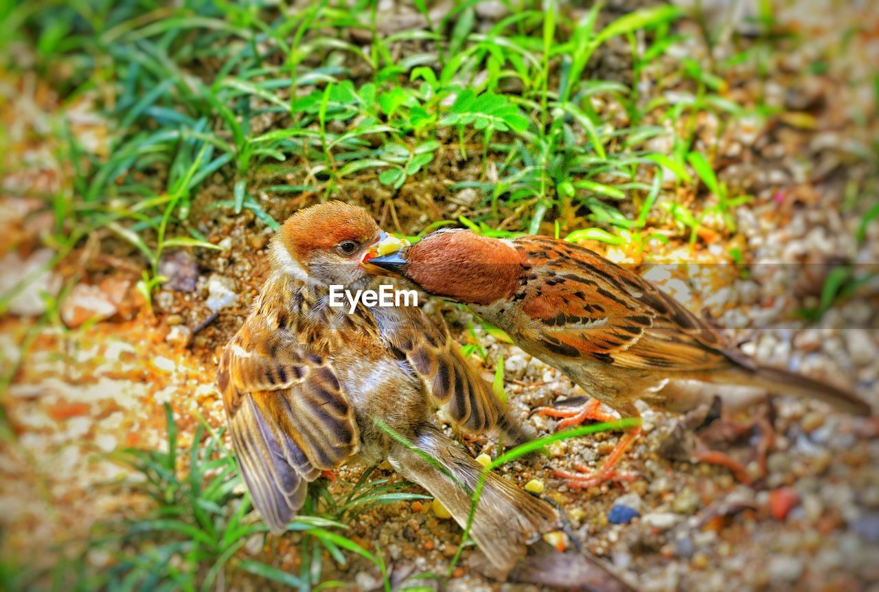 animal themes, animal, bird, vertebrate, animal wildlife, animals in the wild, group of animals, young bird, young animal, day, nature, selective focus, land, no people, sparrow, side view, full length, field, two animals, close-up, animal family