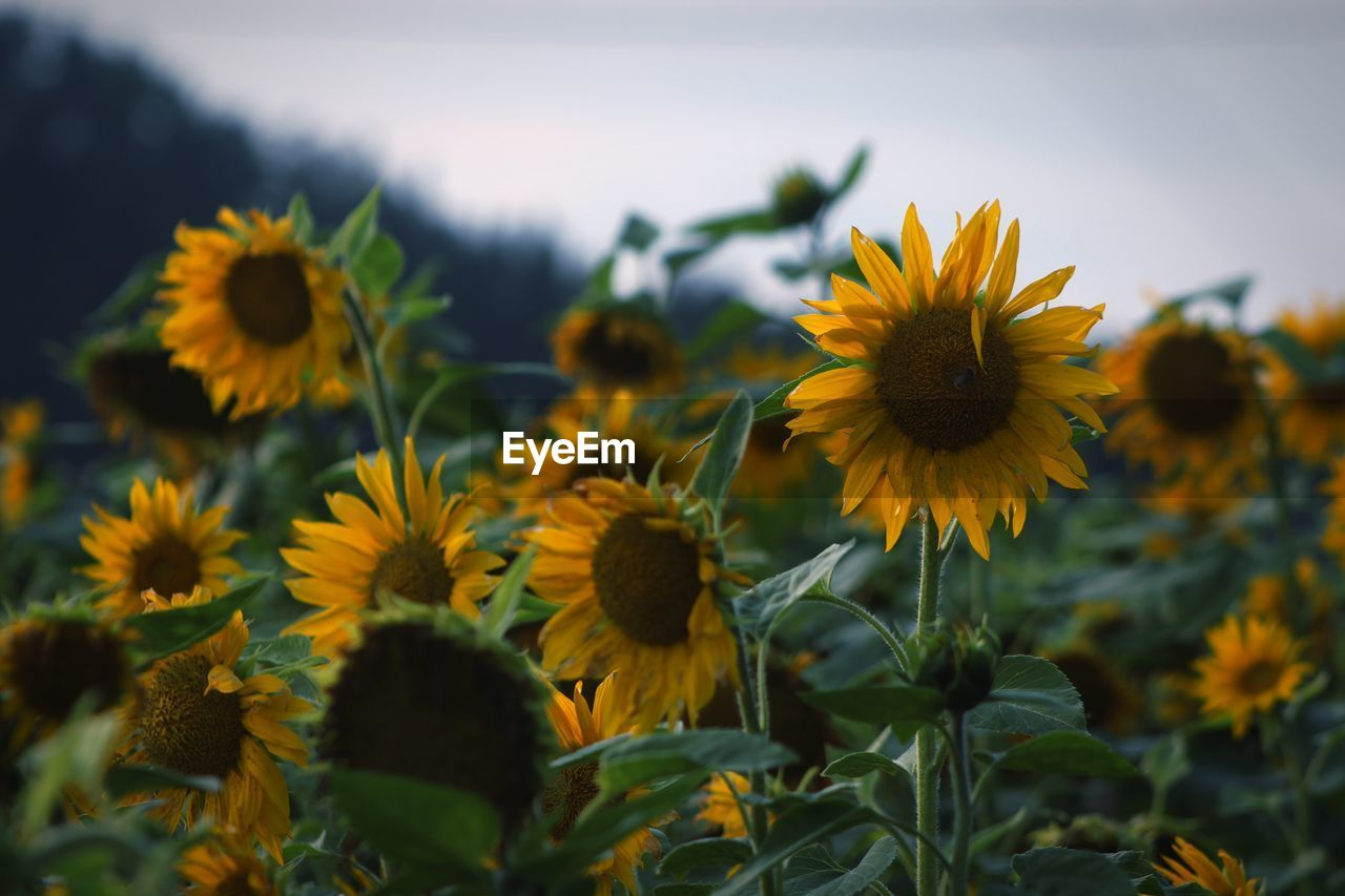 yellow, flower, flowering plant, plant, fragility, vulnerability, growth, beauty in nature, freshness, flower head, petal, inflorescence, close-up, nature, sunflower, no people, land, focus on foreground, selective focus, day, outdoors
