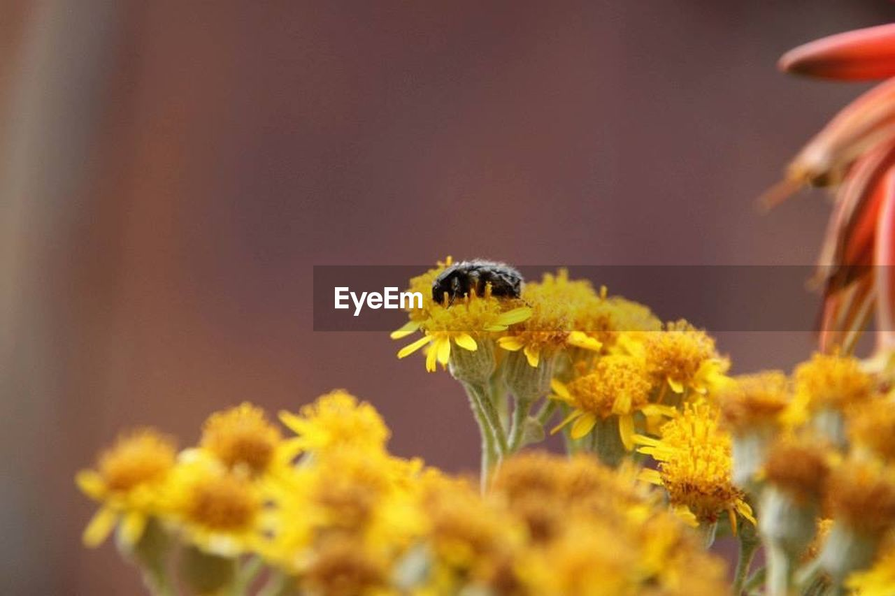 flower, insect, one animal, animal themes, animals in the wild, animal wildlife, bee, fragility, plant, petal, honey bee, freshness, nature, growth, flower head, outdoors, close-up, beauty in nature, yellow, day, pollination, no people, buzzing