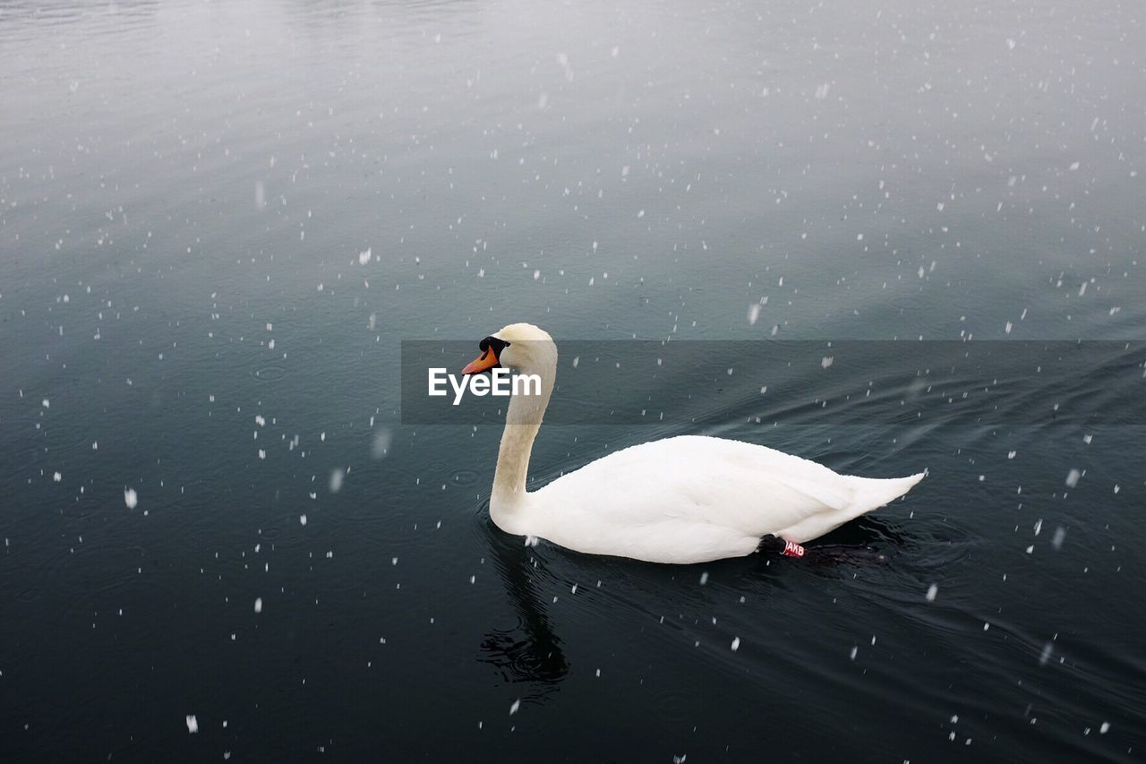 Close-Up Of Swan Swimming In Lake During Winter