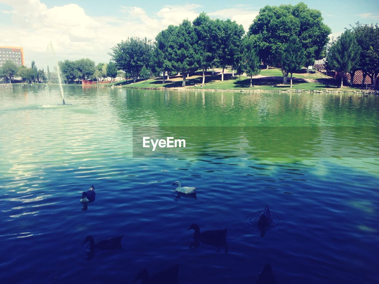 water, nature, outdoors, day, swimming, waterfront, lake, animal themes, animals in the wild, beauty in nature, no people, tree, sky, bird