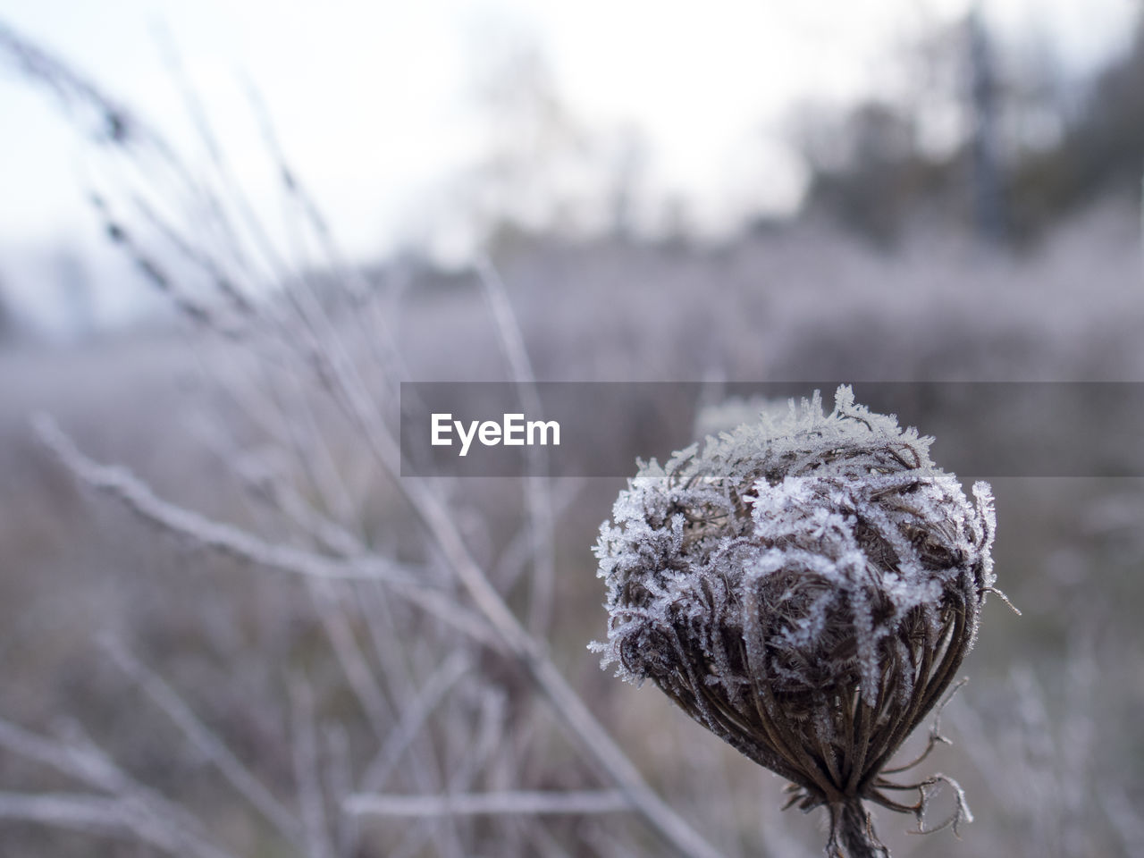 nature, focus on foreground, plant, fragility, beauty in nature, close-up, no people, field, outdoors, day, winter, dried plant, growth, flower, tranquility, snow, flower head, freshness, sky