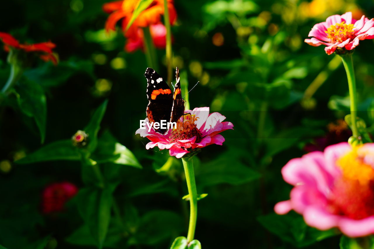 flowering plant, flower, vulnerability, fragility, plant, beauty in nature, freshness, petal, growth, flower head, close-up, pink color, inflorescence, nature, focus on foreground, no people, day, outdoors, invertebrate, insect, pollination, pollen, butterfly - insect