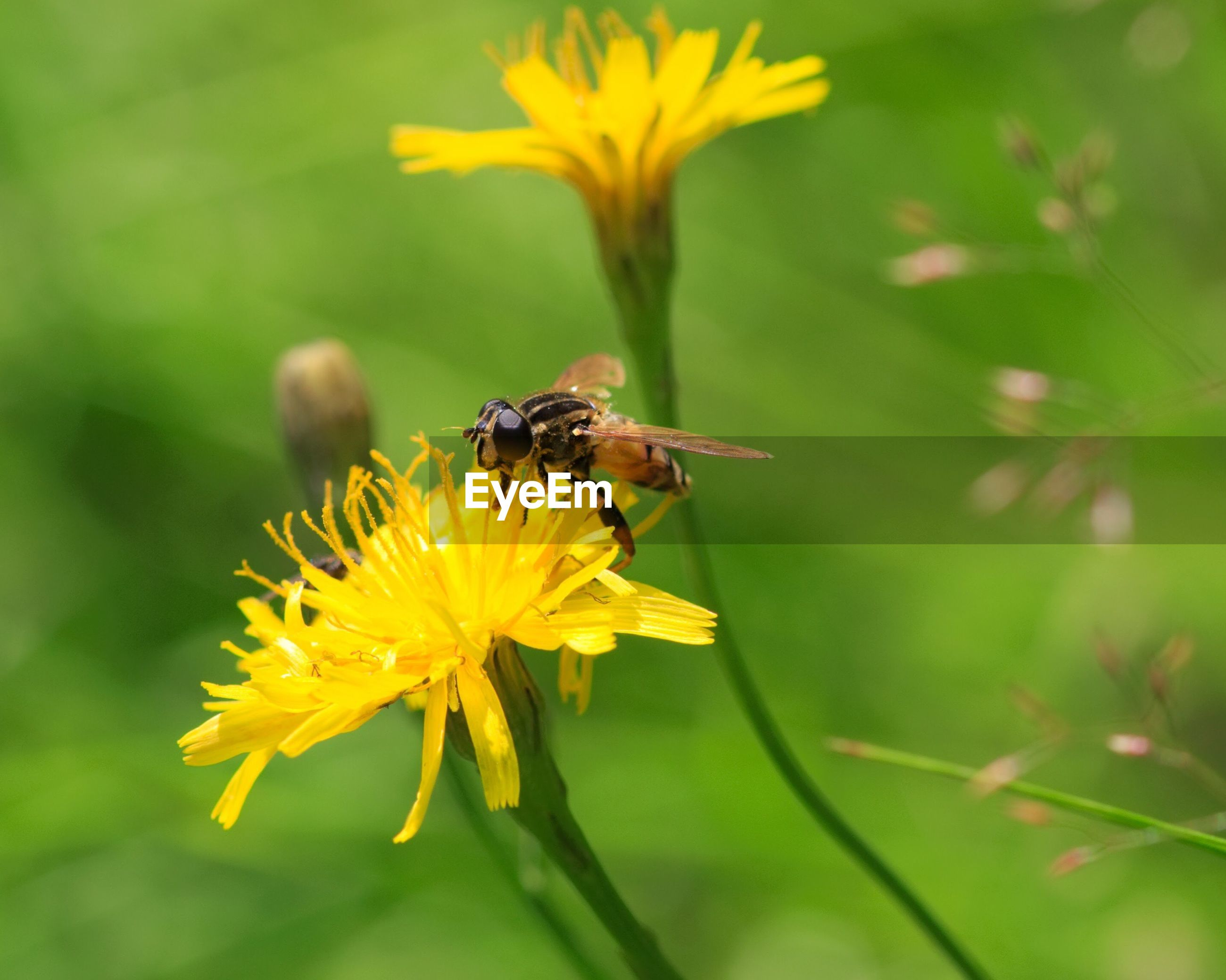 Close-up of bee pollinating on dandelion blooming outdoors