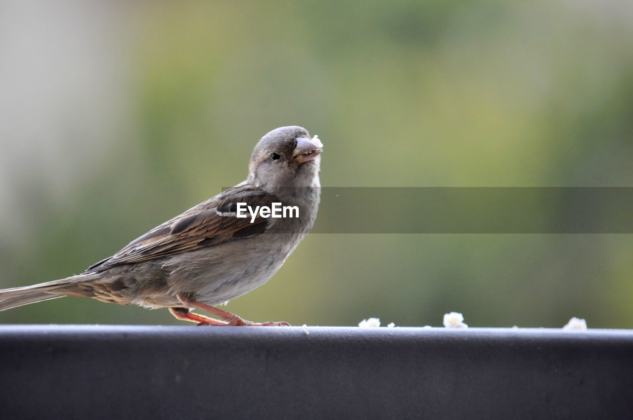 bird, vertebrate, animals in the wild, animal wildlife, perching, one animal, sparrow, day, focus on foreground, close-up, no people, nature, selective focus, outdoors, full length, side view, retaining wall