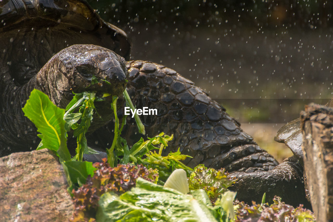 animals in the wild, animal wildlife, animal, animal themes, reptile, vertebrate, turtle, nature, plant, one animal, no people, close-up, plant part, leaf, day, water, selective focus, shell, outdoors, amphibian, marine