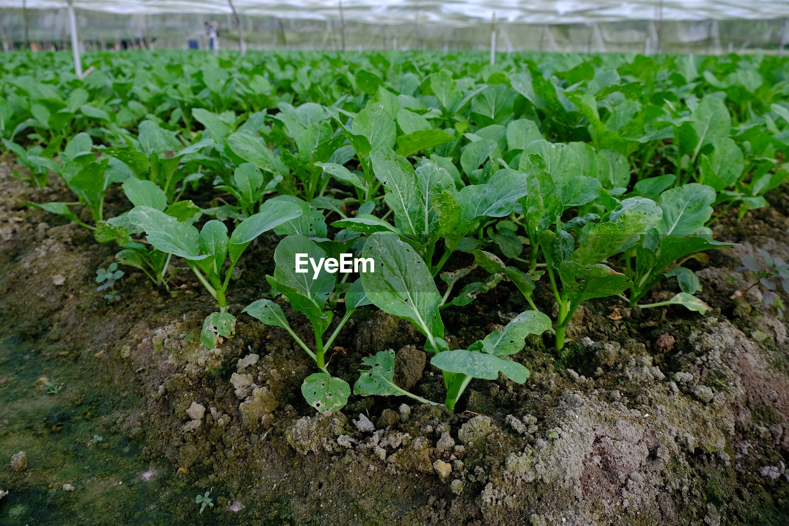 Close-up of spinach growing in field