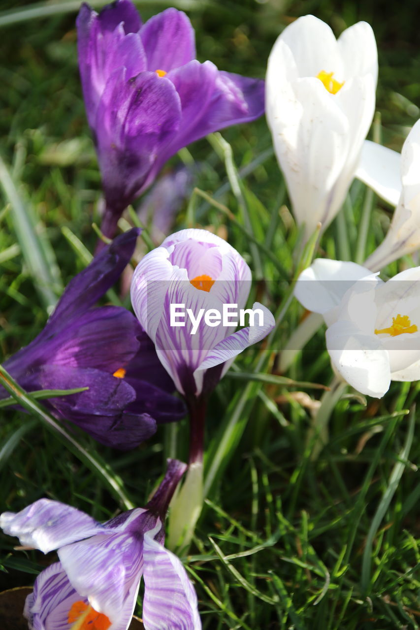 flower, petal, fragility, freshness, flower head, beauty in nature, growth, nature, white color, purple, blooming, field, day, no people, outdoors, high angle view, plant, close-up, crocus