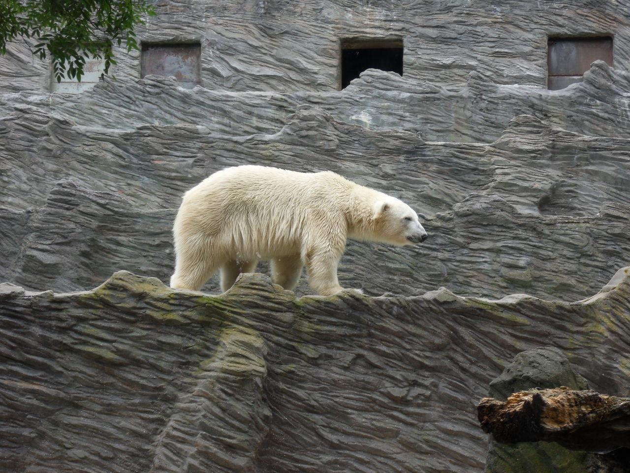 Bear walking on retaining wall