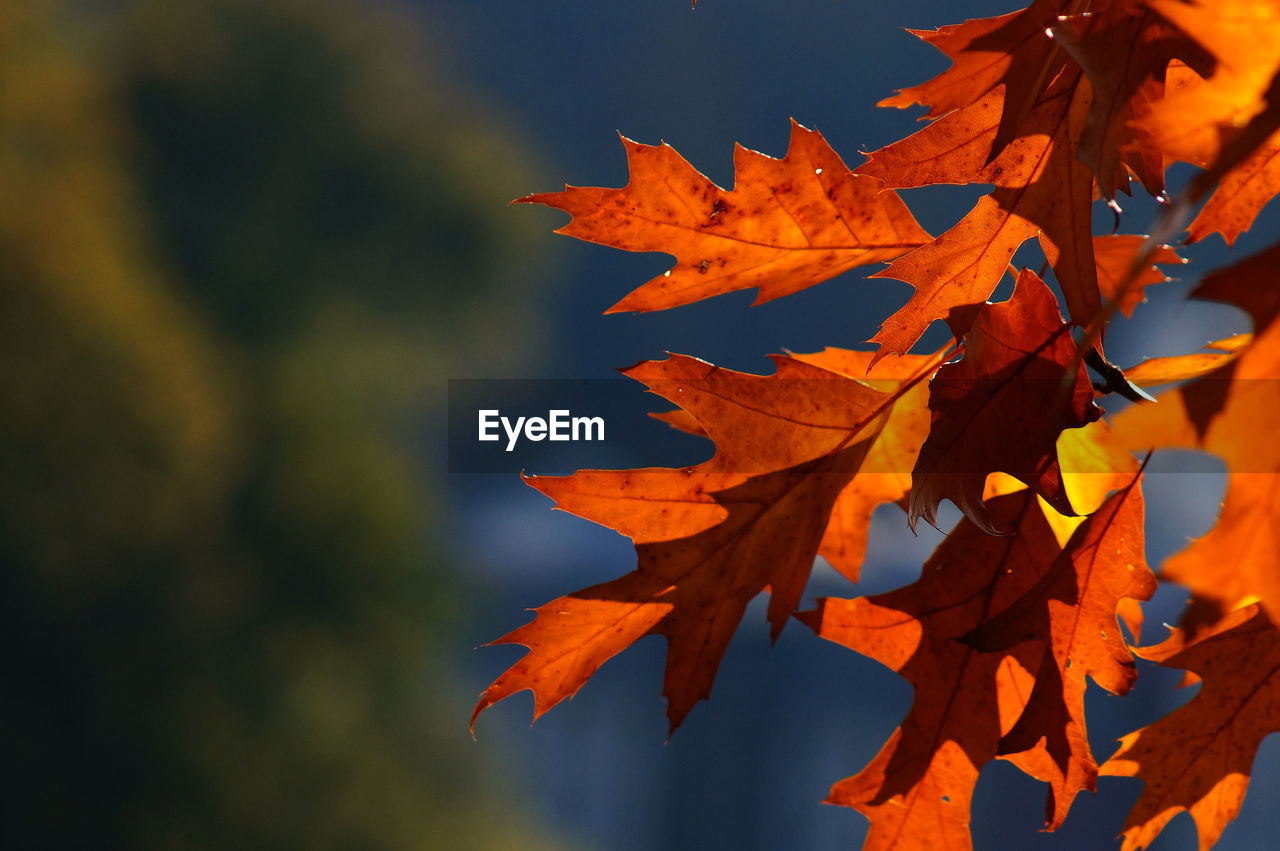 autumn, leaf, change, maple leaf, orange color, nature, beauty in nature, outdoors, day, no people, maple tree, maple, tranquility, close-up, sky, growth, scenics, tree