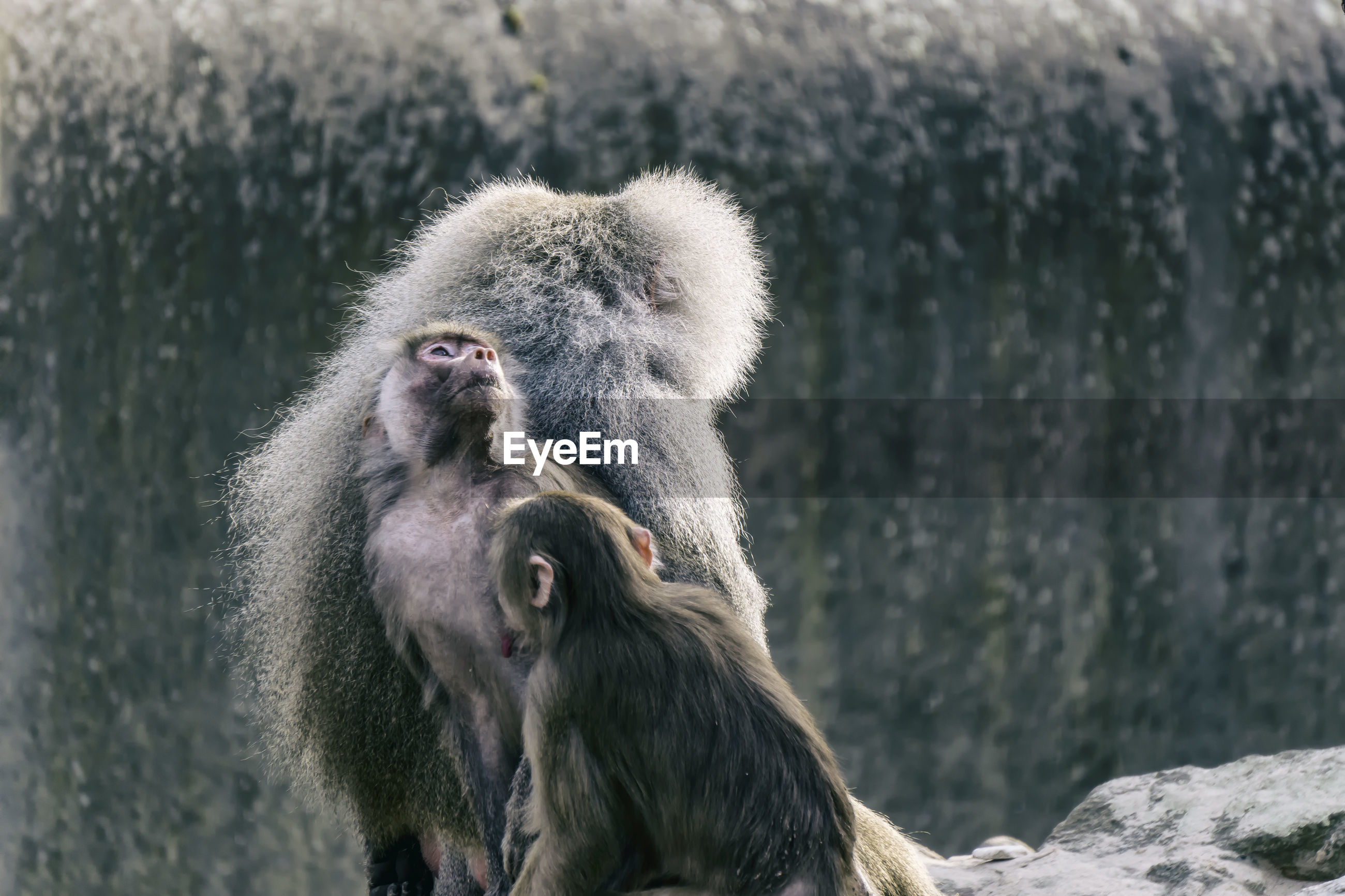 Baboons with infants on cliff