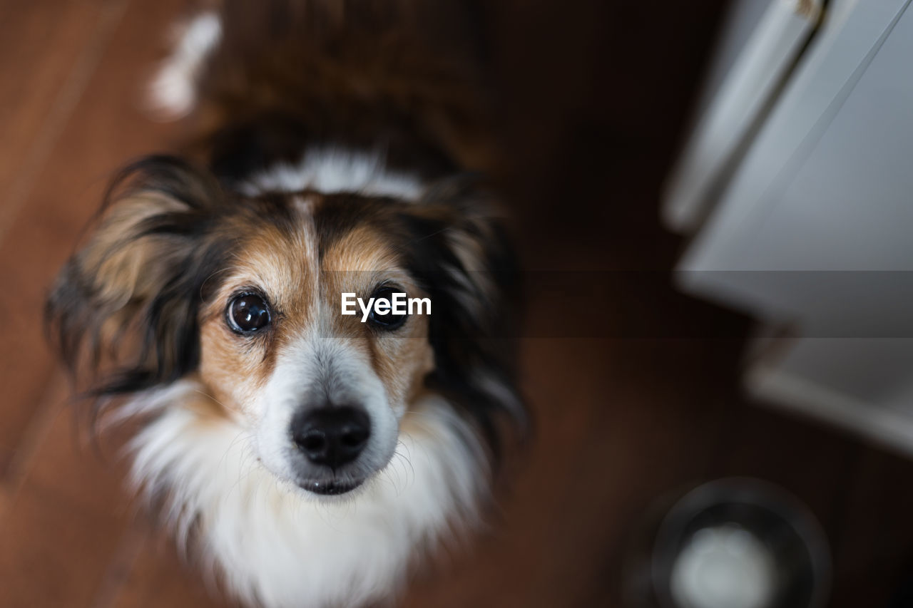 pets, domestic, dog, domestic animals, canine, mammal, one animal, looking at camera, portrait, indoors, vertebrate, selective focus, no people, home interior, animal body part, focus on foreground, close-up, small, animal eye