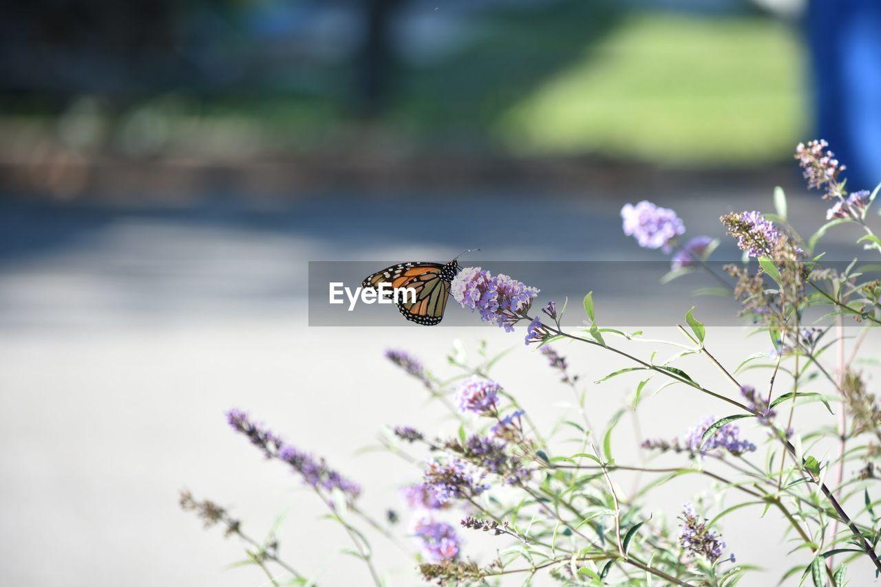 Butterfly On Purple Flowers