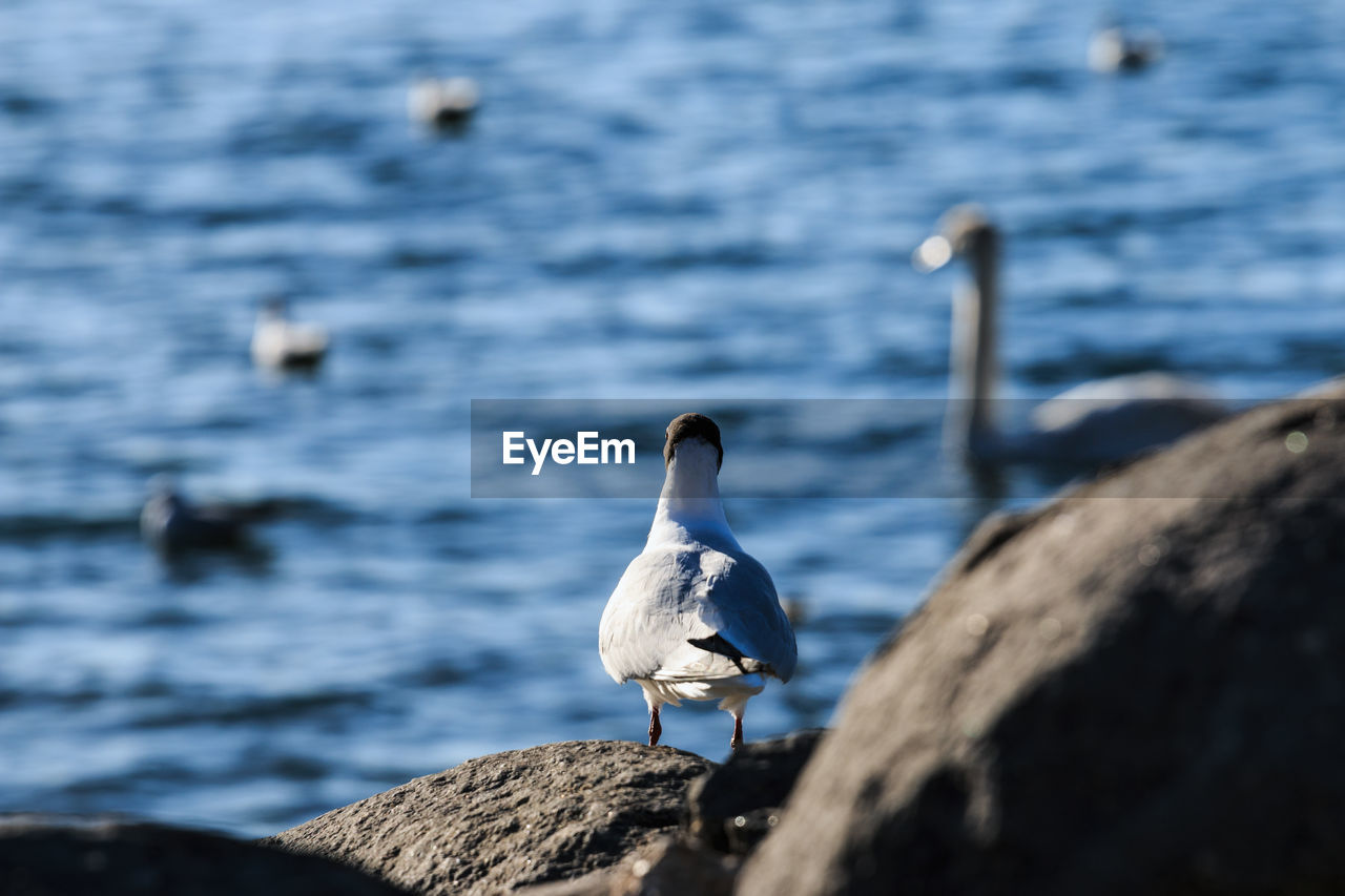 animals in the wild, bird, animal themes, animal wildlife, rock - object, water, nature, white color, day, one animal, focus on foreground, water bird, lake, sea bird, seagull, no people, beak, outdoors, swan, beauty in nature, perching, pelican, crane - bird