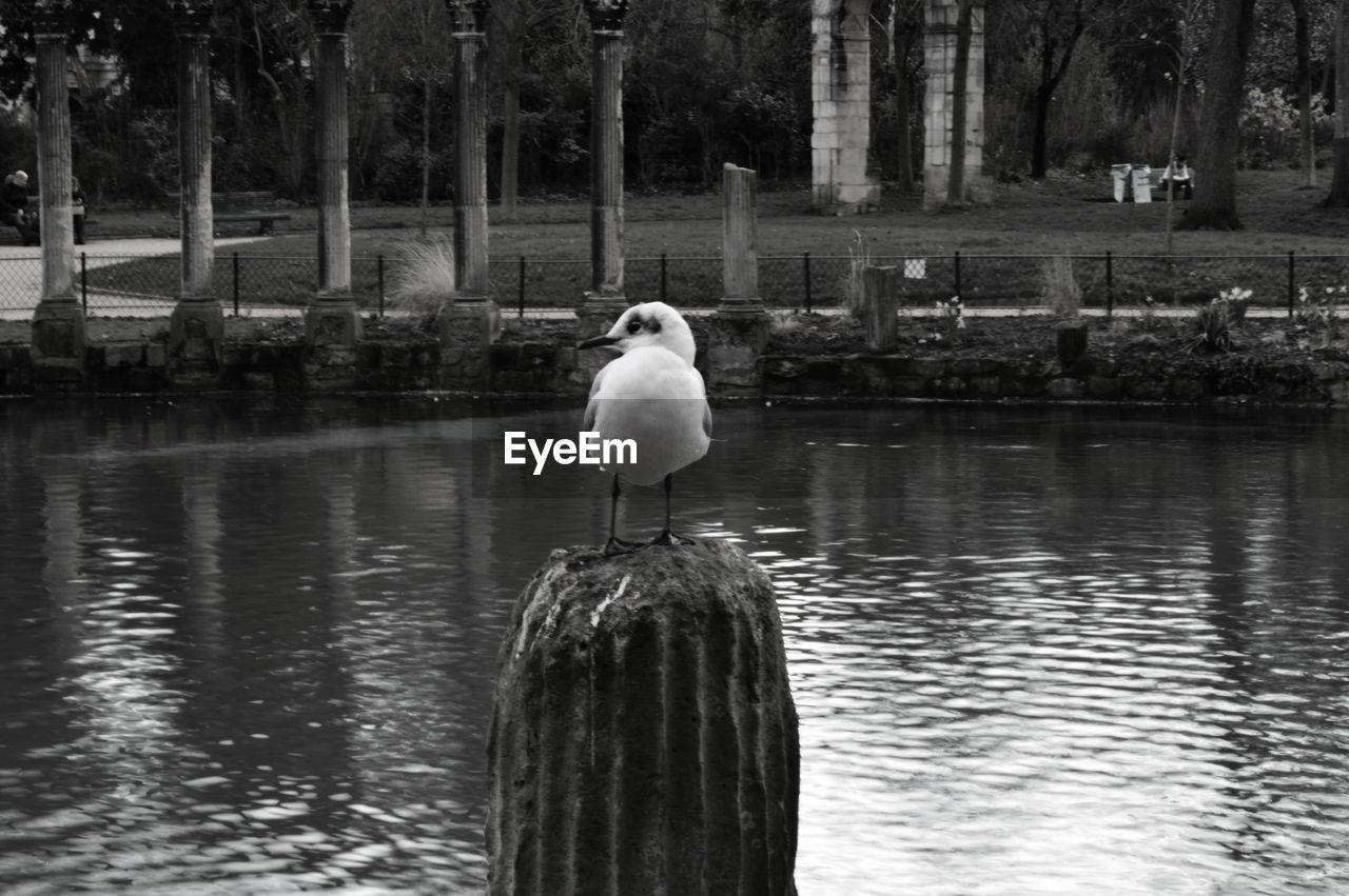 Little Gull Perching On Bollard In Pond