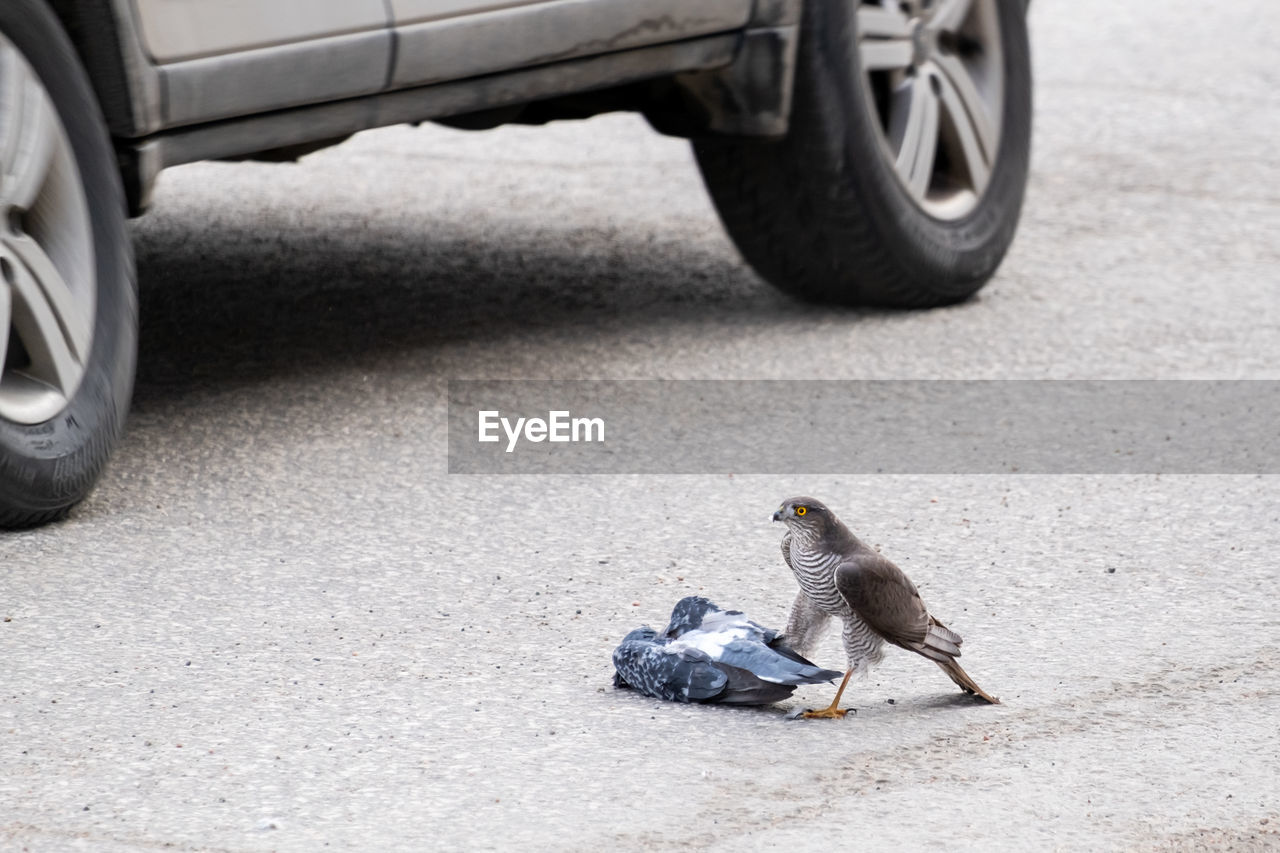 animal themes, animal, animal wildlife, vertebrate, animals in the wild, one animal, transportation, day, focus on foreground, street, road, bird, city, no people, mode of transportation, outdoors, wheel, car, rodent, nature