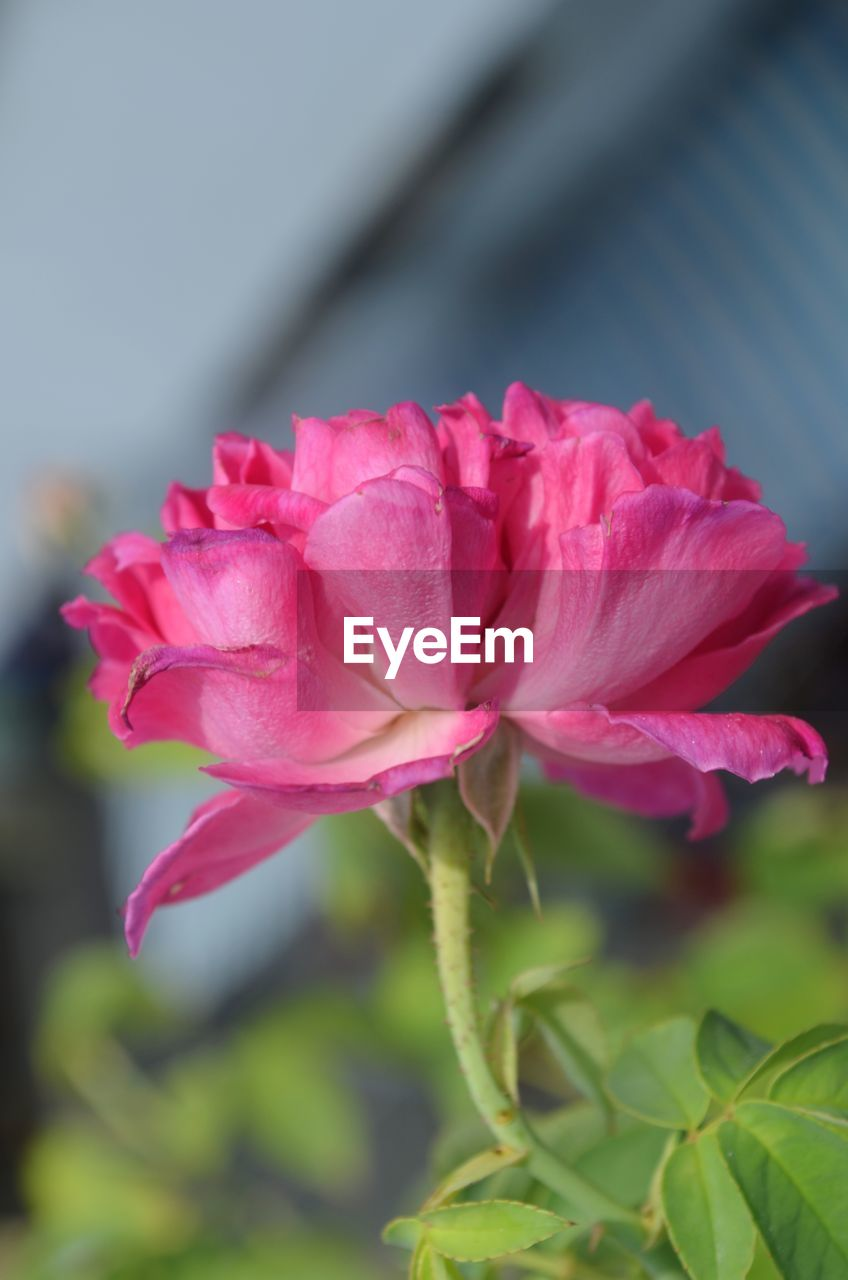 flowering plant, flower, plant, beauty in nature, vulnerability, freshness, fragility, pink color, petal, close-up, flower head, growth, inflorescence, nature, no people, day, rose, focus on foreground, leaf, rose - flower, outdoors