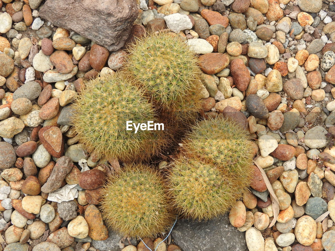 nature, spiked, cactus, stone - object, thorn, outdoors, high angle view, day, rock - object, pebble, no people, directly above, growth, close-up, beach, beauty in nature, pebble beach