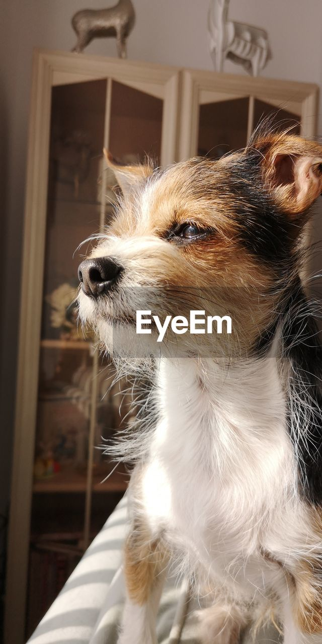 one animal, domestic, mammal, domestic animals, pets, animal themes, animal, canine, dog, vertebrate, looking, indoors, no people, looking away, home interior, hair, focus on foreground, animal hair, close-up, day, animal head, whisker, jack russell terrier