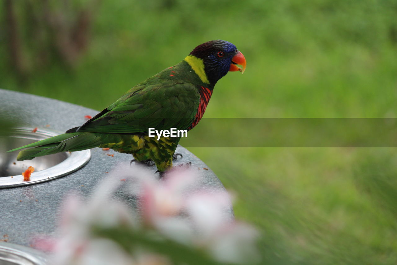 vertebrate, animal themes, animal, animal wildlife, bird, animals in the wild, parrot, one animal, selective focus, green color, day, no people, close-up, perching, nature, plant, outdoors, multi colored, rainbow lorikeet, beauty in nature