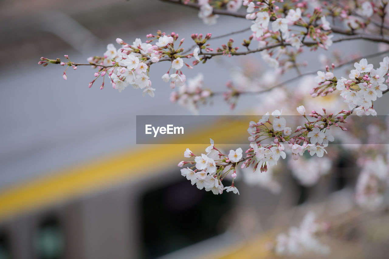 Close-up of pink cherry blossoms and bokeh background