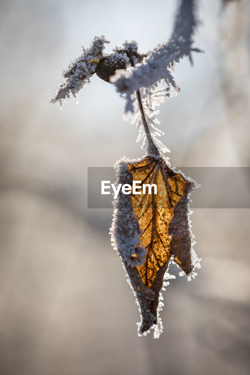 leaf, autumn, dry, change, nature, cold temperature, close-up, focus on foreground, winter, day, outdoors, no people, frozen, dried plant, beauty in nature