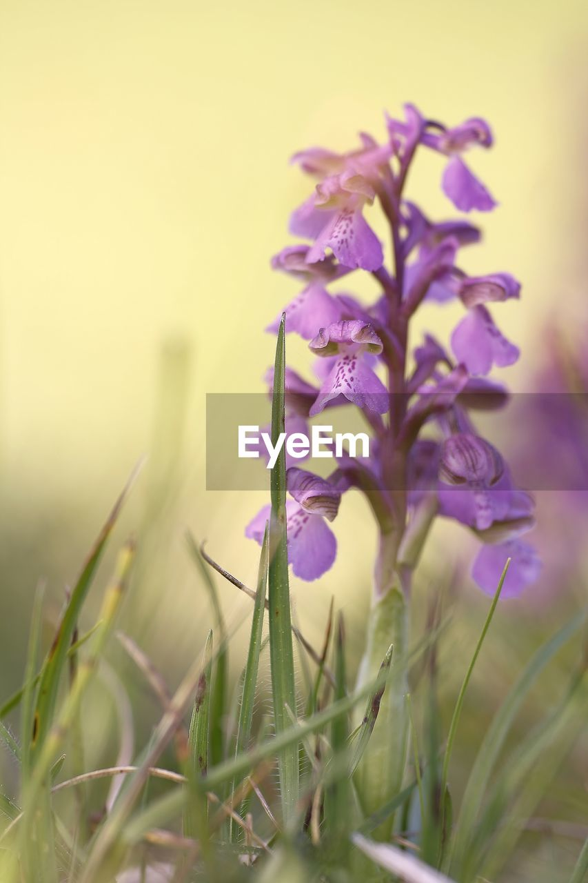 plant, flowering plant, flower, beauty in nature, growth, vulnerability, fragility, freshness, close-up, selective focus, nature, purple, petal, no people, focus on foreground, day, flower head, inflorescence, outdoors, field, crocus, blade of grass