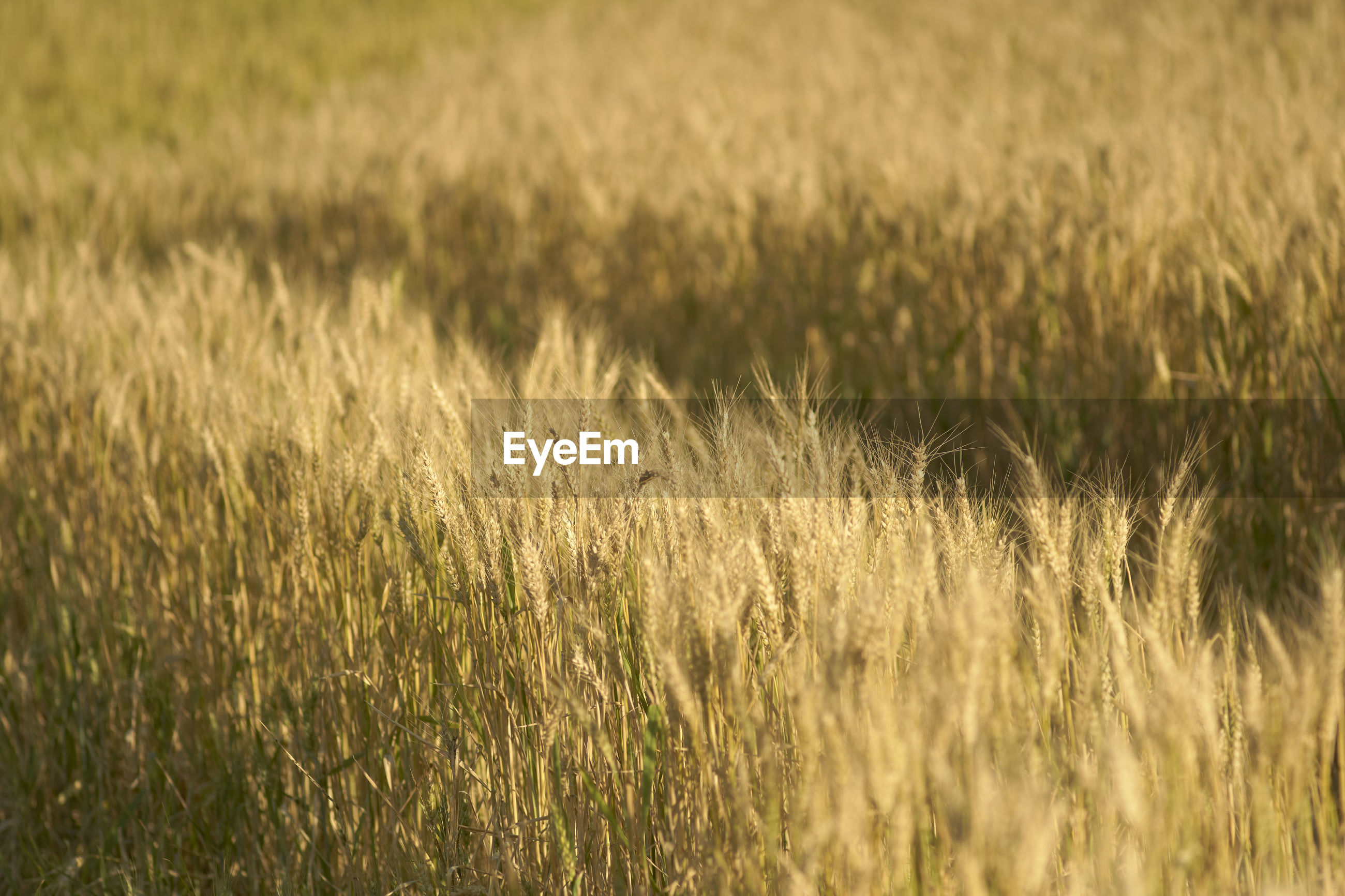 VIEW OF WHEAT FIELD