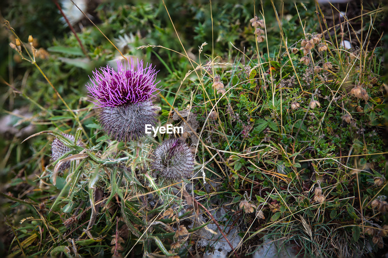 flower, growth, nature, purple, plant, field, no people, fragility, thistle, outdoors, beauty in nature, day, freshness, close-up, flower head