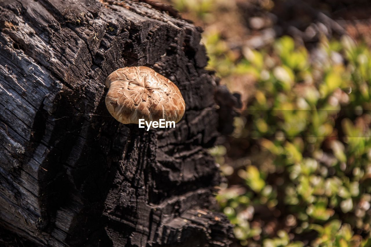 mushroom, fungus, plant, vegetable, tree, growth, nature, no people, close-up, focus on foreground, food, day, trunk, tree trunk, textured, beauty in nature, toadstool, selective focus, outdoors, land, bark