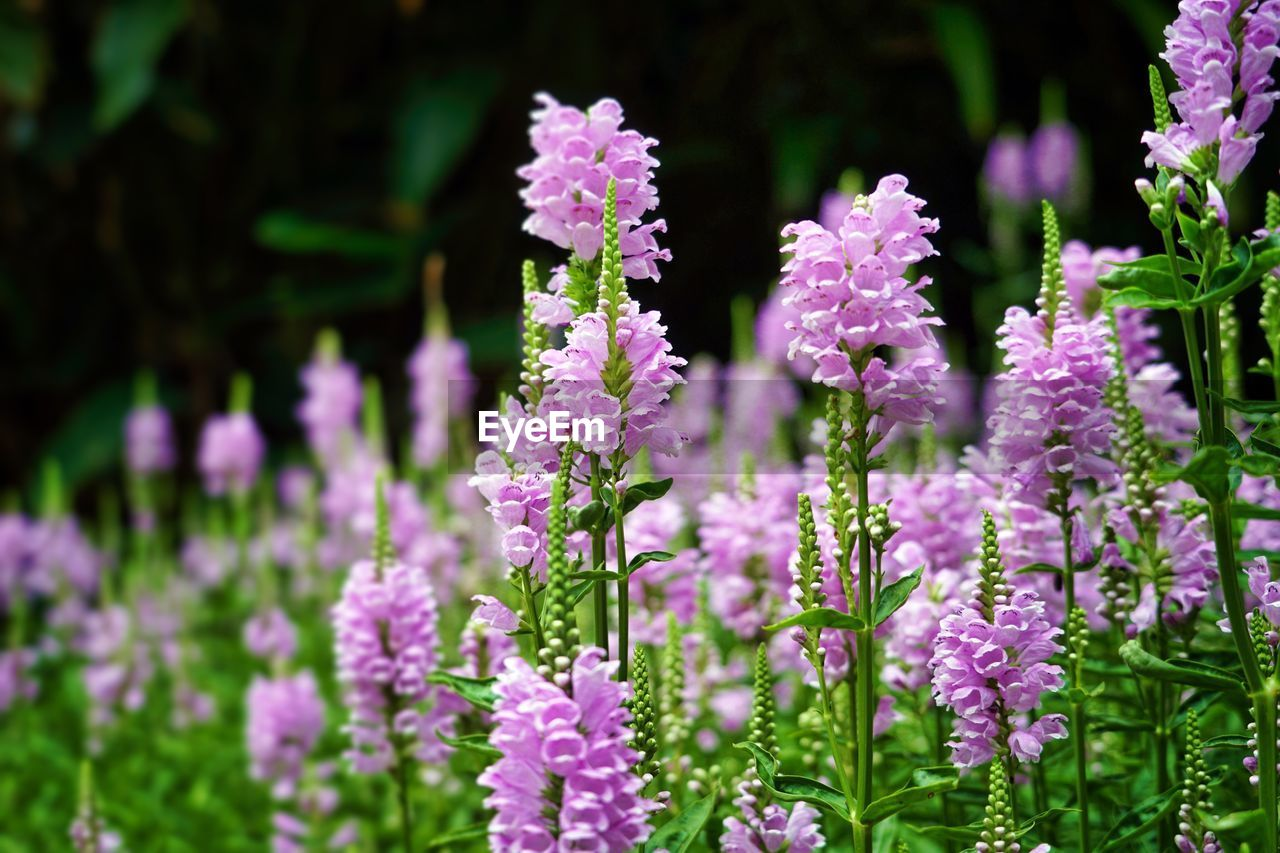 flower, flowering plant, plant, beauty in nature, growth, vulnerability, fragility, freshness, close-up, purple, petal, no people, nature, flower head, selective focus, day, inflorescence, field, focus on foreground, lavender