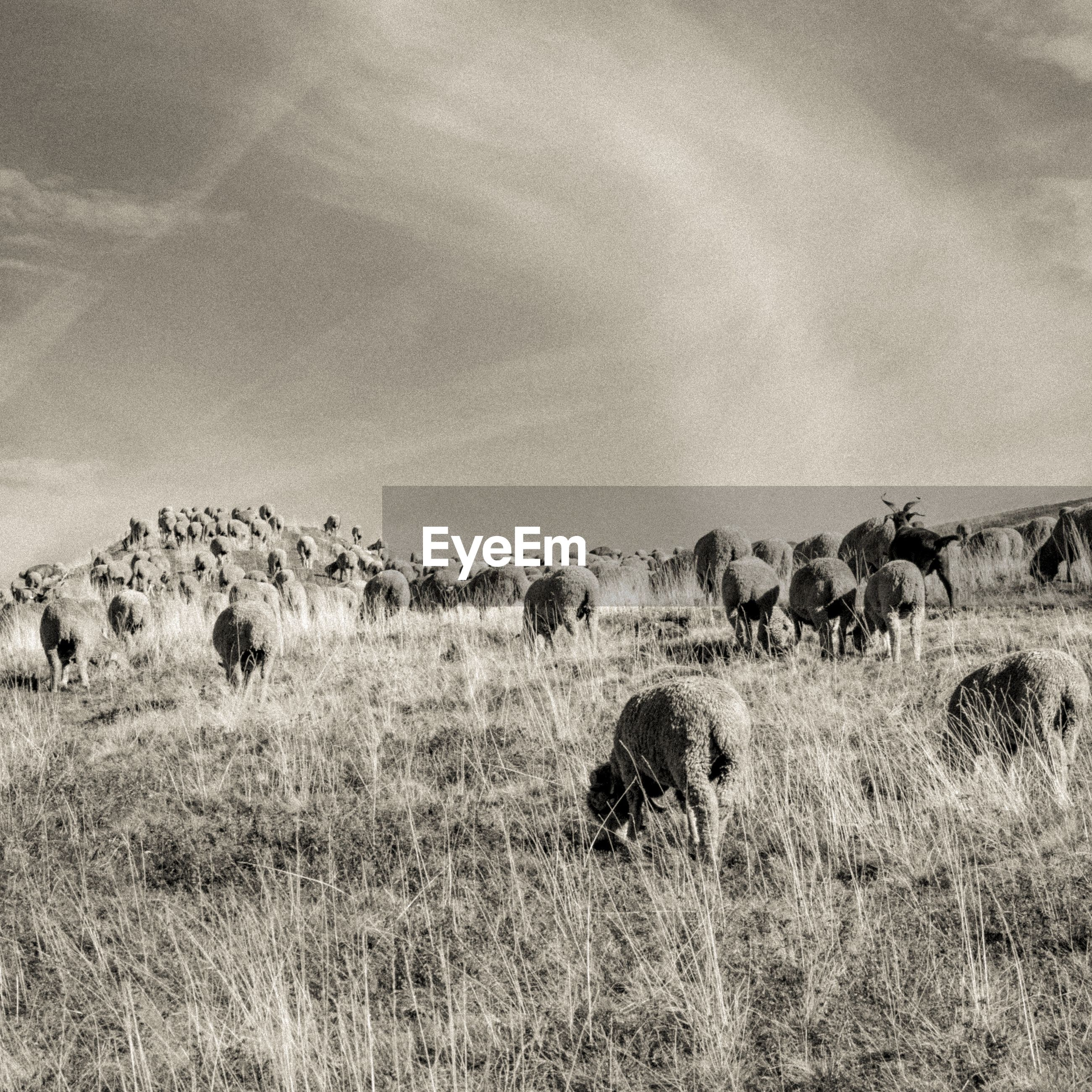 VIEW OF SHEEP ON LANDSCAPE
