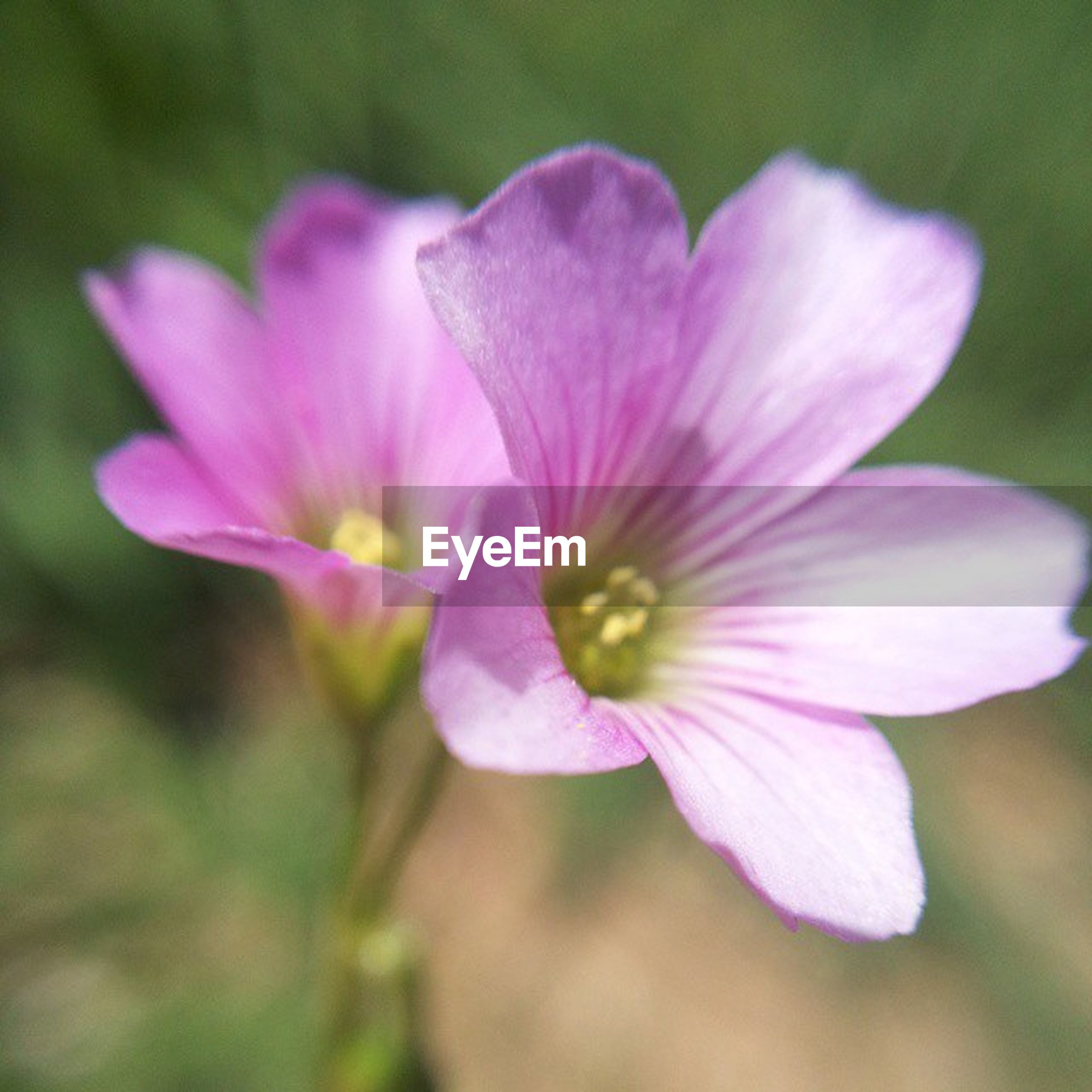 flower, petal, freshness, fragility, flower head, close-up, growth, beauty in nature, focus on foreground, pink color, nature, single flower, blooming, stamen, pollen, in bloom, purple, selective focus, blossom, plant