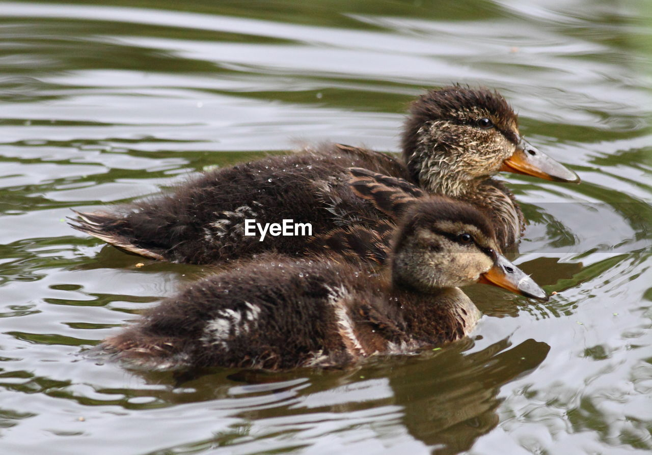 lake, animal, animal themes, bird, water, vertebrate, animal wildlife, animals in the wild, waterfront, swimming, young bird, duck, poultry, one animal, young animal, no people, water bird, nature, day, beak, floating on water, animal family, cygnet