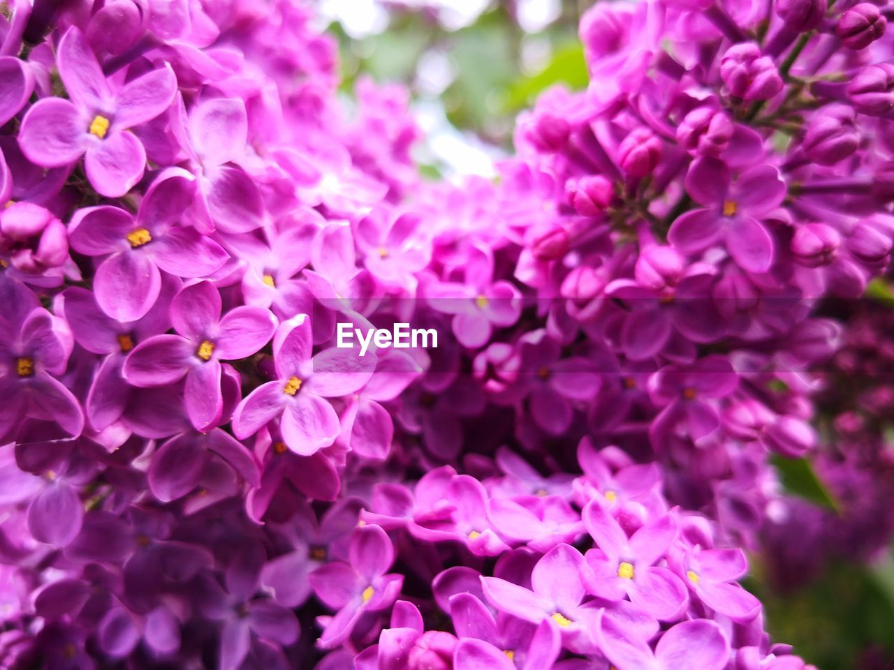 flower, flowering plant, vulnerability, petal, beauty in nature, fragility, freshness, plant, pink color, growth, close-up, nature, inflorescence, flower head, no people, outdoors, day, purple, blossom, selective focus, lilac, springtime, bunch of flowers, spring