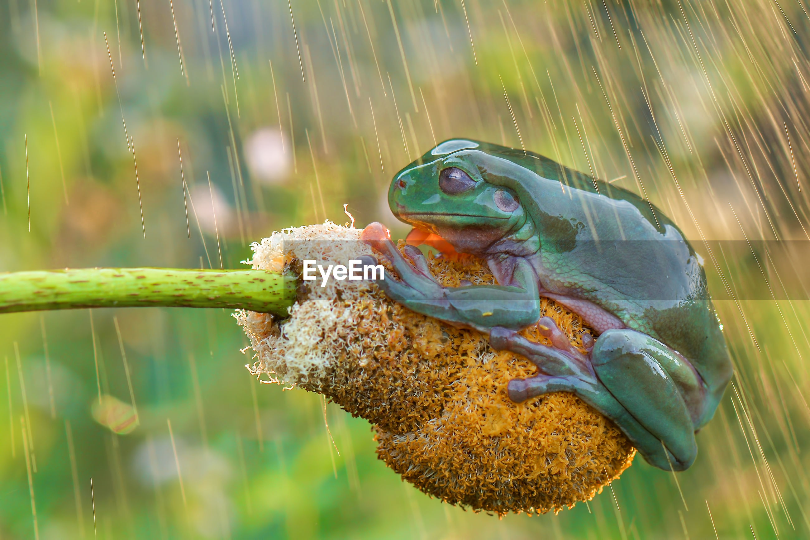 Close-up of green frog on yellow flower during rainy season