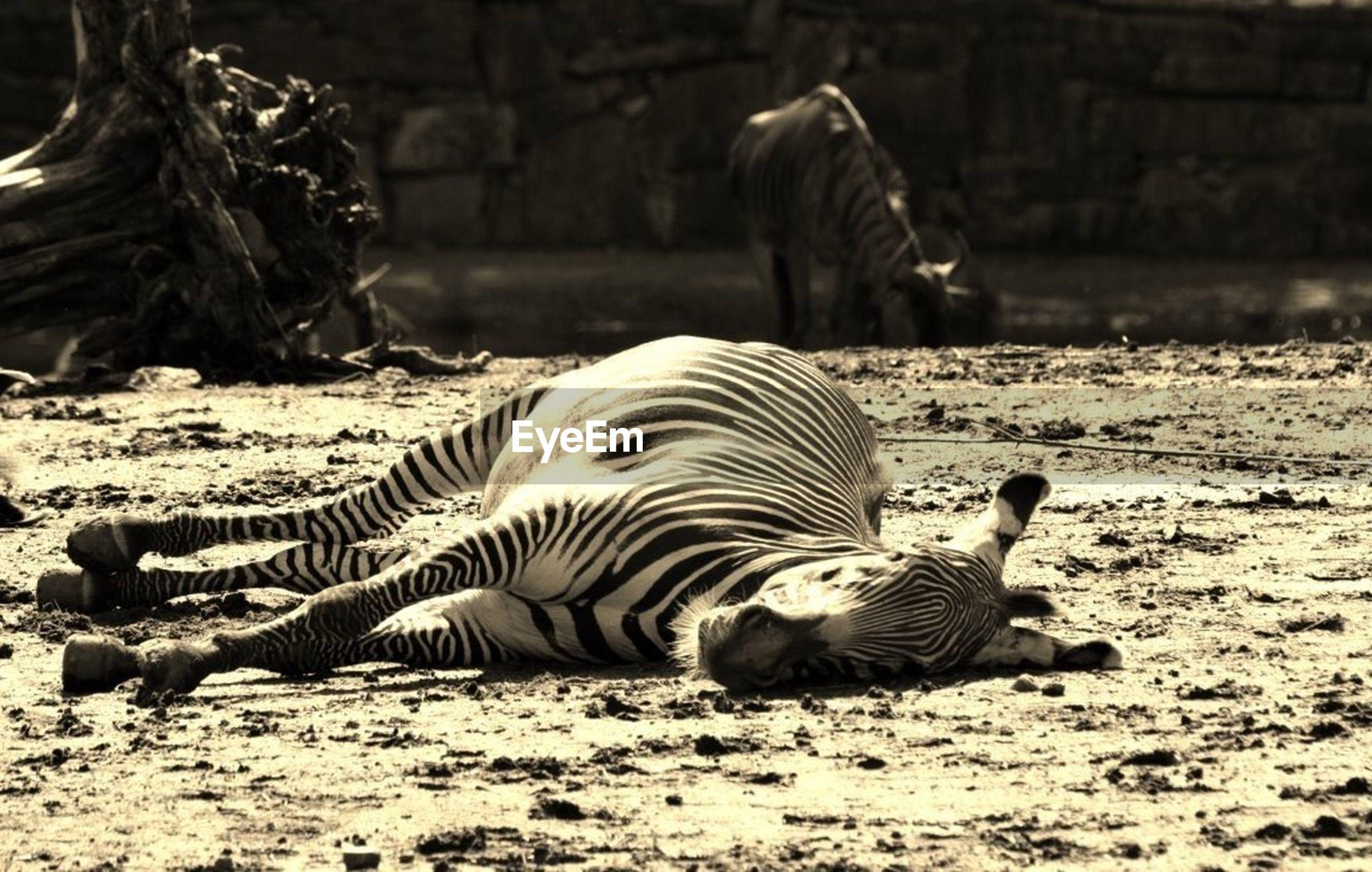 Zebra lying on field