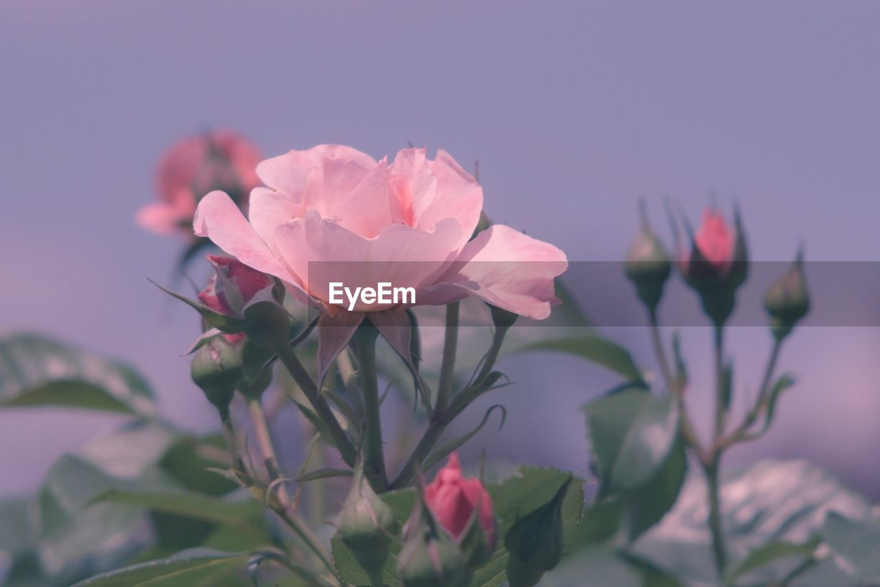 flower, flowering plant, plant, freshness, beauty in nature, petal, pink color, fragility, vulnerability, close-up, growth, flower head, nature, inflorescence, focus on foreground, no people, outdoors, leaf, day, plant part