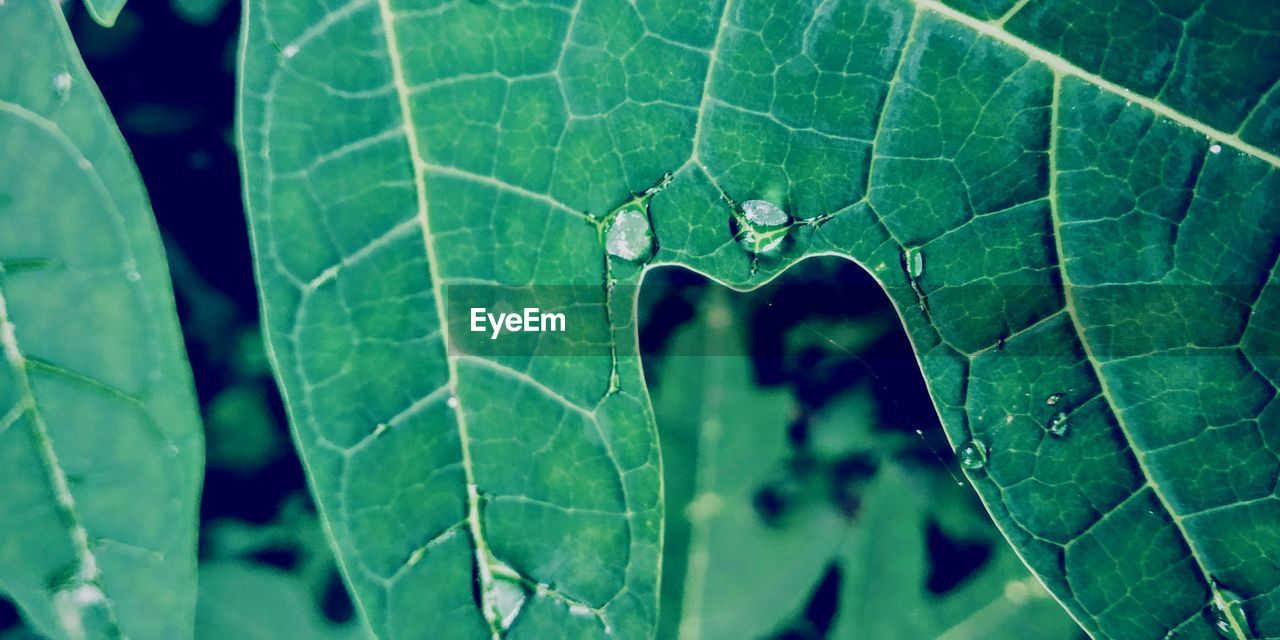 leaf, plant part, close-up, plant, growth, nature, green color, day, leaf vein, no people, focus on foreground, beauty in nature, insect, invertebrate, one animal, outdoors, high angle view, selective focus, animal, animal wildlife