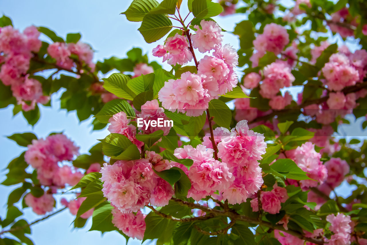 flowering plant, flower, plant, fragility, growth, vulnerability, beauty in nature, pink color, freshness, petal, close-up, inflorescence, nature, leaf, plant part, day, flower head, no people, blossom, outdoors, springtime, bunch of flowers, spring, cherry blossom, lilac