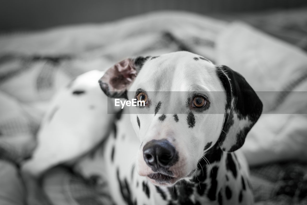 Dalmatian dog looking away indoors