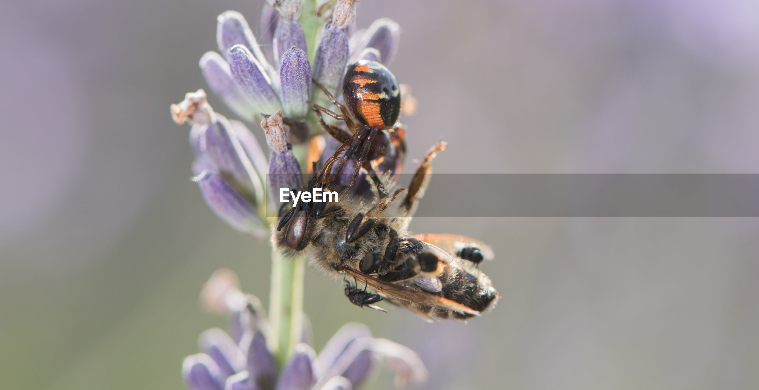 CLOSE-UP OF HONEY BEE POLLINATING ON LAVENDER
