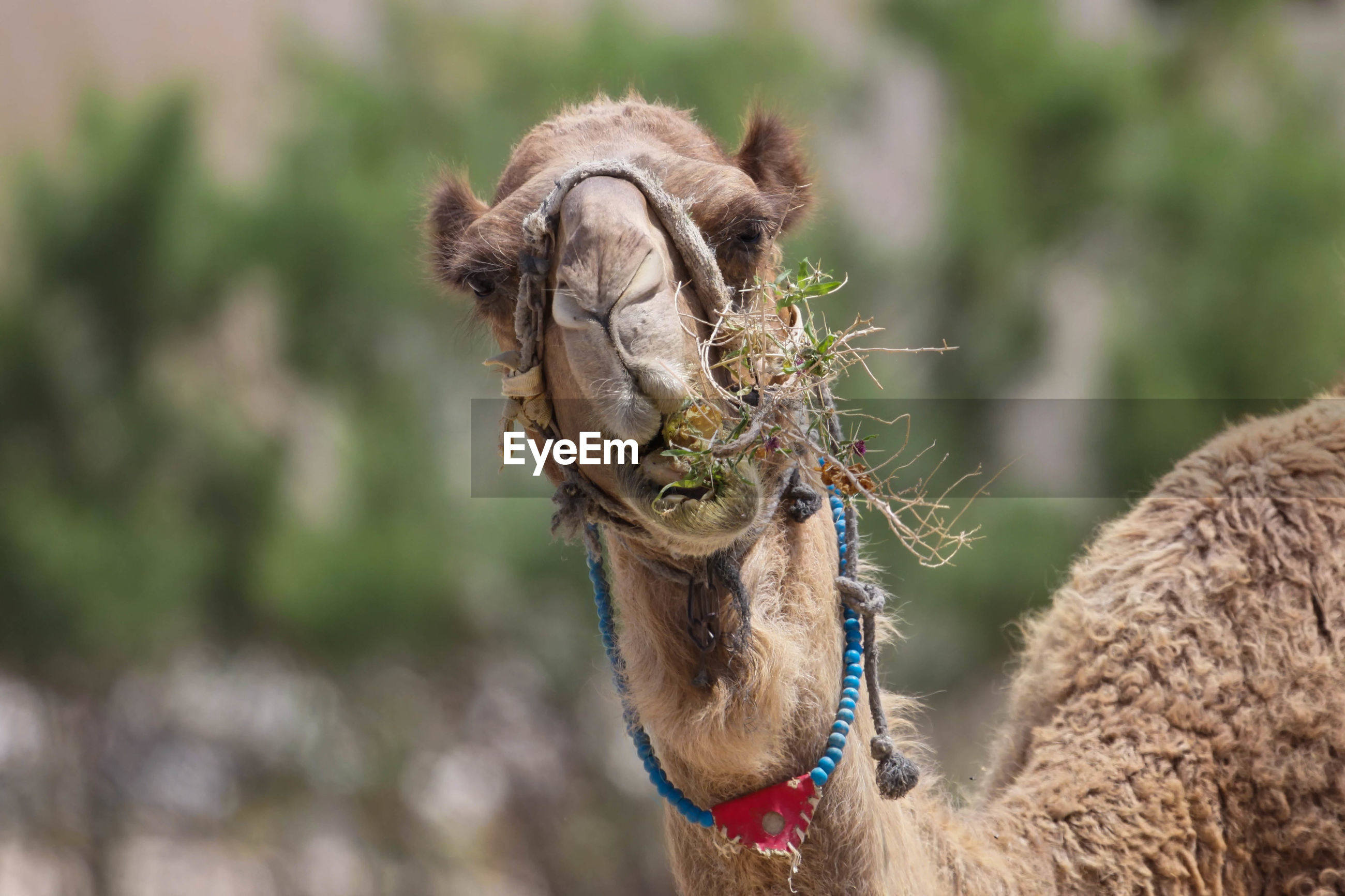 Portrait of camel eating grass outdoors