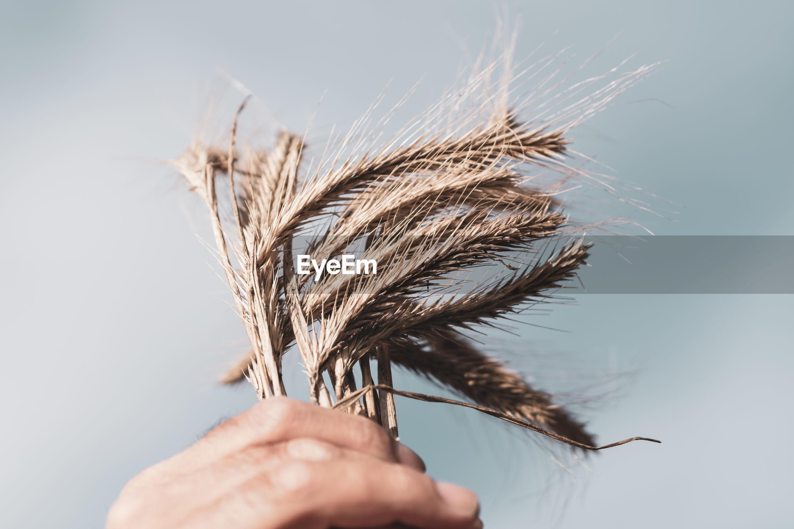 Male hands holding golden wheat ears