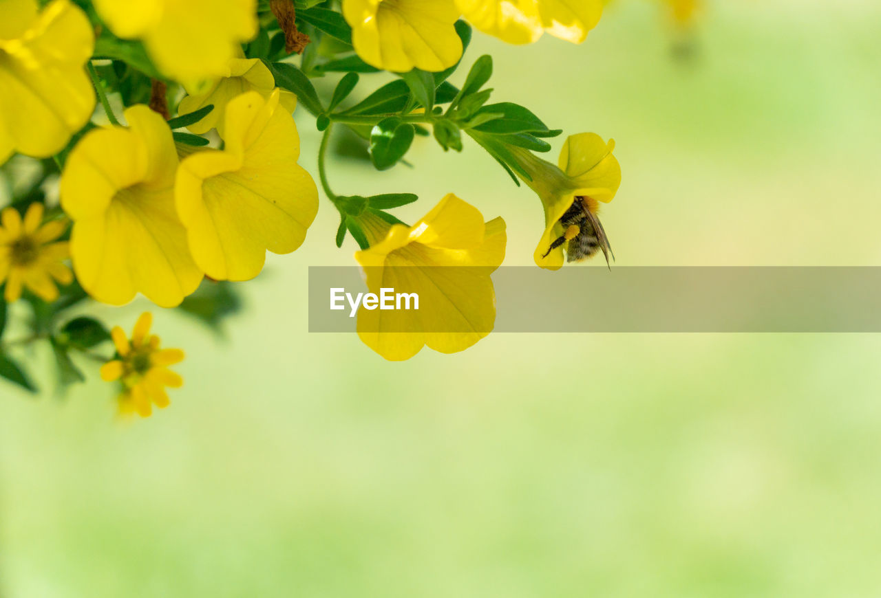 flowering plant, flower, yellow, fragility, animal wildlife, animals in the wild, plant, petal, vulnerability, animal themes, beauty in nature, animal, freshness, insect, one animal, invertebrate, growth, close-up, flower head, bee, no people, pollination, outdoors