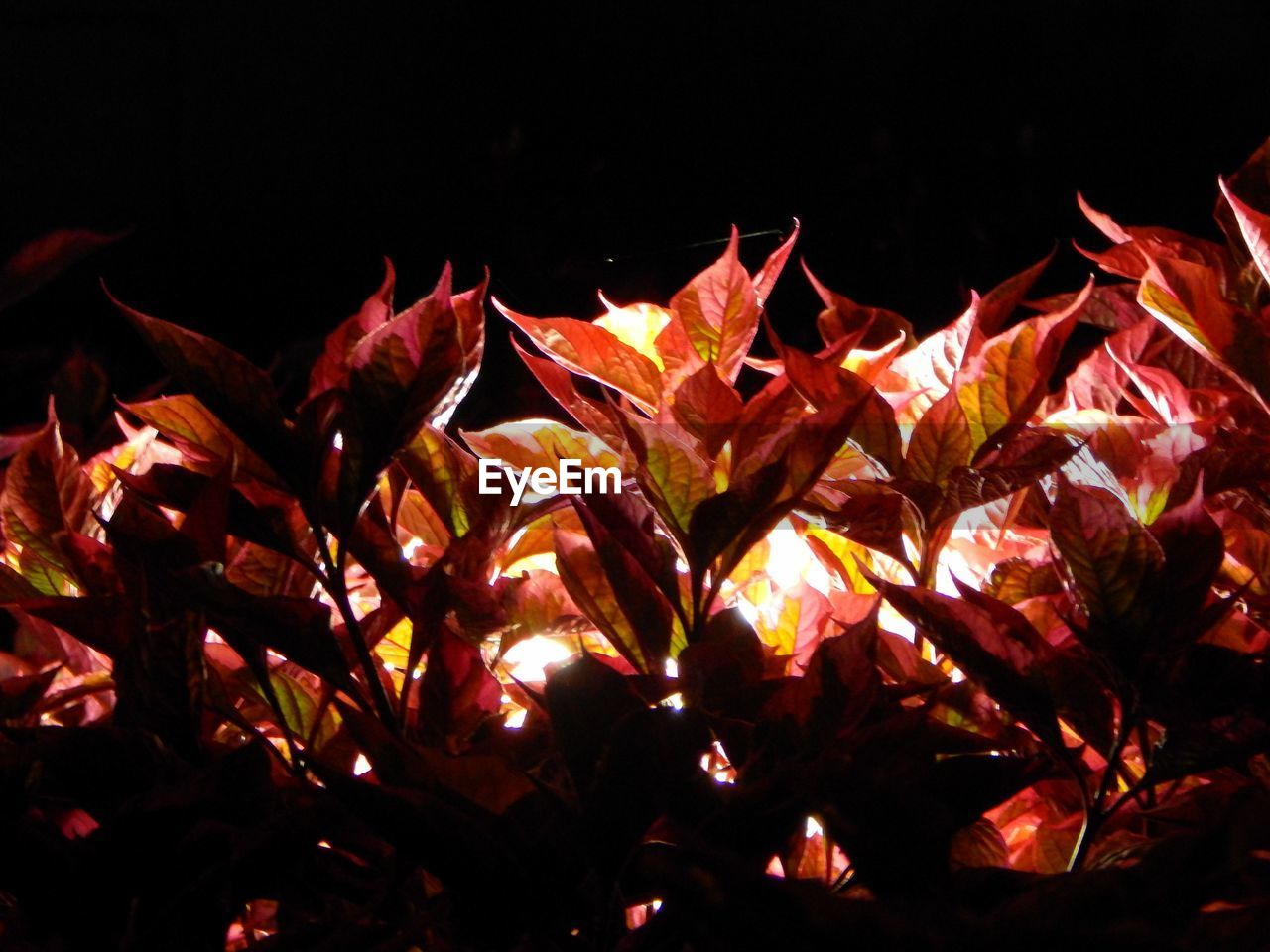 leaf, night, autumn, no people, change, outdoors, close-up, red, maple leaf, nature, beauty in nature, maple
