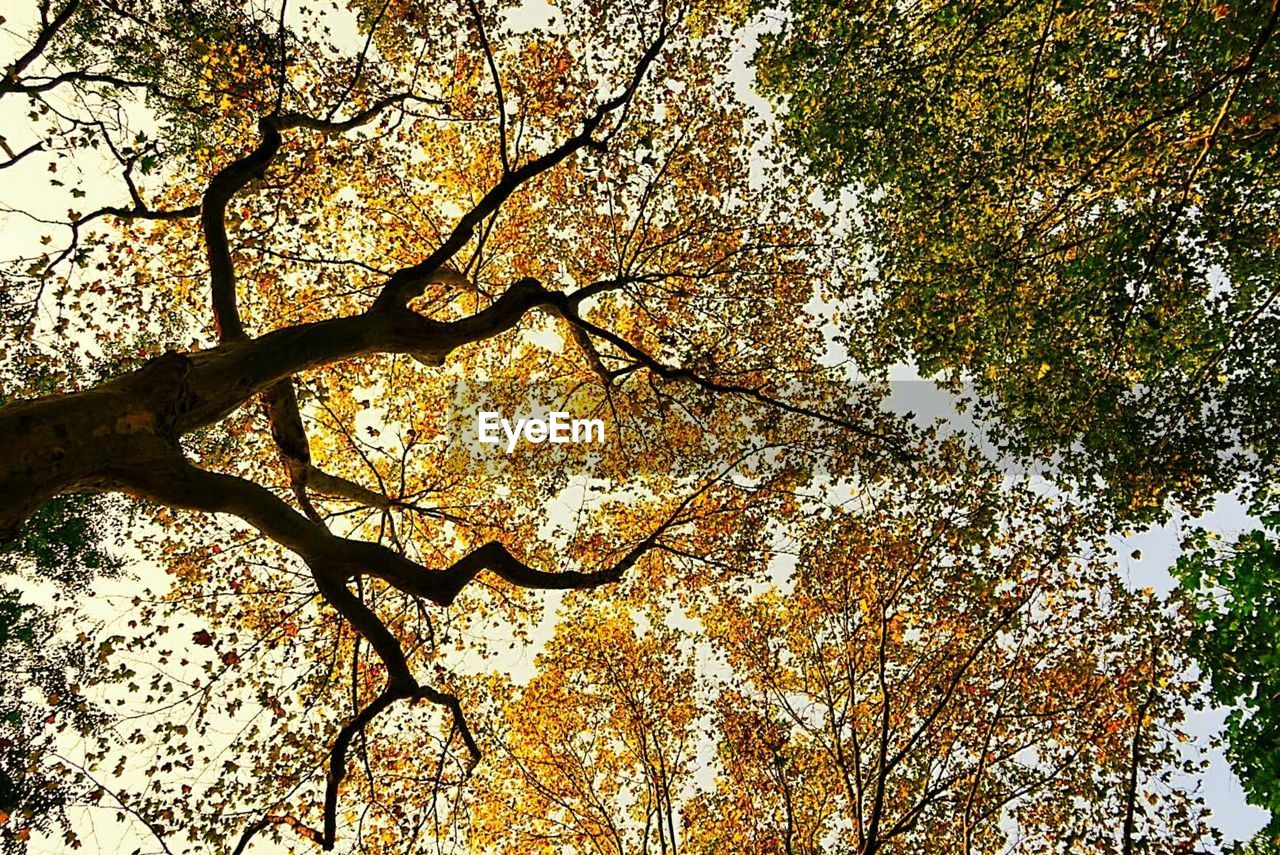 tree, branch, growth, low angle view, nature, tree trunk, beauty in nature, outdoors, no people, leaf, day, autumn, tranquility, scenics, backgrounds, sky