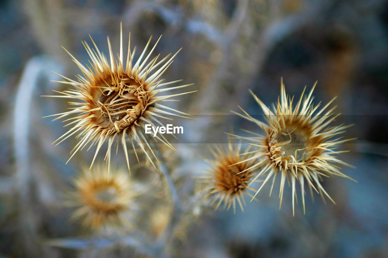 flower, flowering plant, fragility, plant, vulnerability, freshness, beauty in nature, close-up, no people, growth, selective focus, nature, day, focus on foreground, flower head, inflorescence, dandelion, spiked, wildflower, outdoors, dandelion seed, softness, spiky, wilted plant, dried