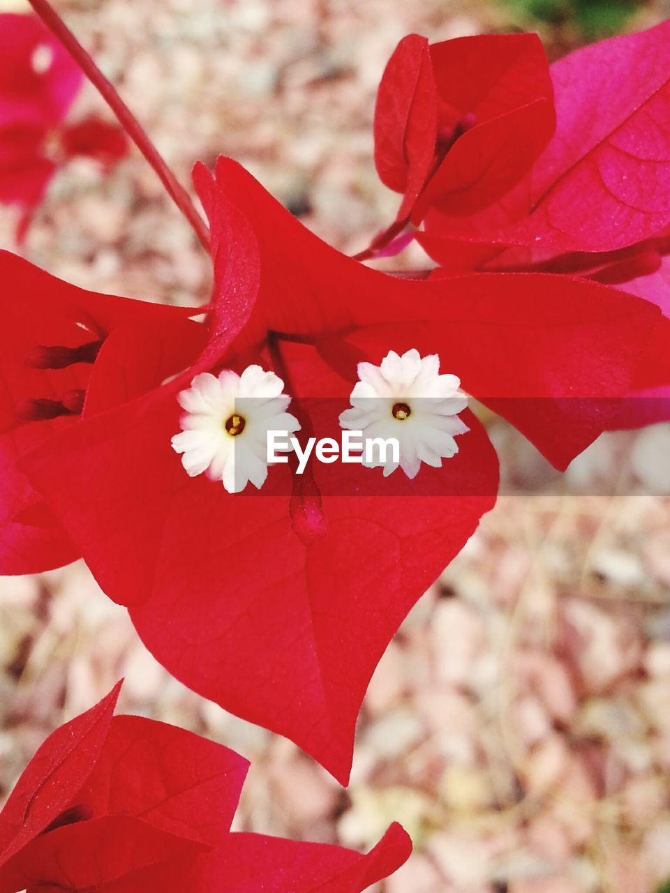 flower, petal, beauty in nature, nature, fragility, red, growth, flower head, close-up, blossom, freshness, no people, outdoors, plant, day, focus on foreground, springtime, branch, blooming, tree